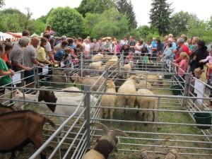 výstava ovcí a koz_2