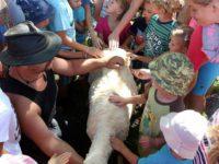Ovečka po ostříhání