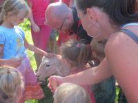 Ostříhaná ovečka